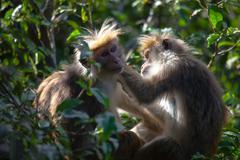 The rhesus macaque monkey (Macaca mulatta) - stock photo