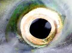 Stock Photo of Eye of a salmon, a close up