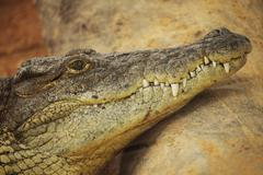 Picture of the head of an dangerous alligator Stock Photos