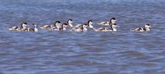 A group of shelduck ducklings Stock Photos