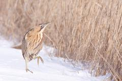 bittern in snow - stock photo
