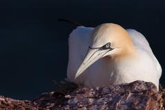 close-up of a gannet on its nest - stock photo