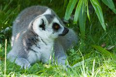 ring-tailed lemur resting in the shade in a dutch zoo - stock photo