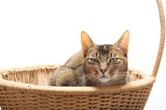 purebred abyssinian in reed basket - stock photo