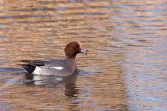 male wigeon or eurasian wigeon (anas penelope, previously mareca penelope) in - stock photo