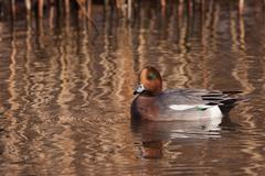 Male wigeon or eurasian wigeon (anas penelope, previously mareca penelope) in Stock Photos