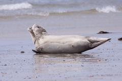 common seal with a flipper over its head - stock photo