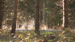 Alpine view - Spruce forest  Coniferous trees Stock Footage