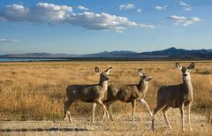 Mule deer in a scenic landscape Stock Photos