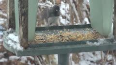 Starling in Birdfeeder - stock footage