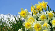 Stock Video Footage of Field of narcissus.