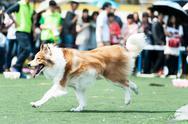 Collie dog running Stock Photos