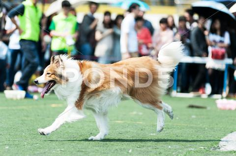 Stock photo of collie dog running