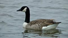 Wildlife Canada Goose swimming on a lake Waterfowl (Water Birds) Stock Footage