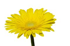 Yellow gerbera daisy isolated on white - stock photo