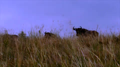 wild gnus in high african savanna grass, south africa - stock footage