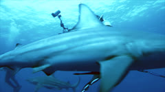 Stock Video Footage of quick encounter of scuba diver meeting shark, south africa