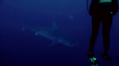 Tiger shark passes scuba diver´s legs, indian ocean Stock Footage