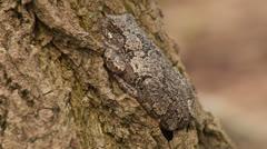 Gray Treefrog (Hyla versicolor) 3 Stock Footage