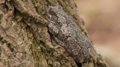 Gray Treefrog (Hyla versicolor) 1 Stock Footage