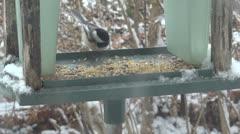Chickadee Feeds in Birdfeeder - stock footage