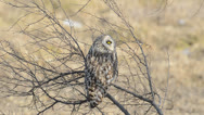 Stock Video Footage of Short-eared Owl