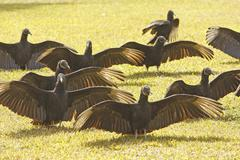 group of turkey vultures (cathartes aura) in a field - stock photo