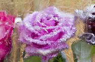 Stock Illustration of rose flower in a block freezes