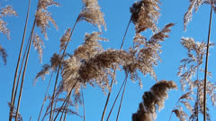 Sedge against the blue sky - stock footage