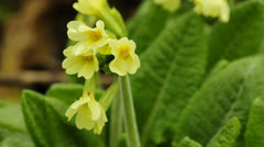 Cowslip Stock Footage
