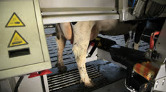 Robotic milking cows on dairy farm Stock Footage