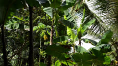 Banana tree in the jungle Stock Footage