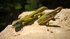 A couple of lizards Stock Photos