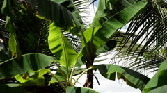 Banana tree in the wind Stock Footage