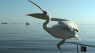 Pelican catching a thrown fish Stock Footage