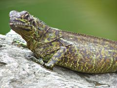 Green Asian Reptile Iguana Close Up - stock photo
