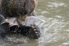 The bear has seized fish - stock photo