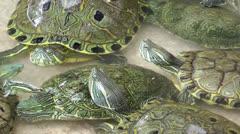 Turtles in Pool Stock Footage