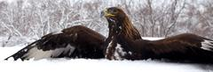 Stock Photo of Hunting of a golden eagle