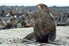 northern fur-seals rookery - stock photo