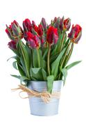 Spring tulip flowers in pot Stock Photos
