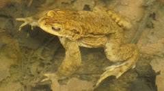 Common toad Stock Footage