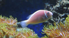 Pink clown fish Stock Footage