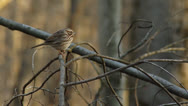 Stock Video Footage of Little Bird on Branch (Sparrow)