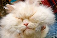 Head of a white fluffy cat with closed eyes Stock Photos