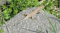 An immature of green lizard resting on a hot rock / Lacerta viridis Stock Footage