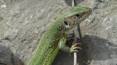 An adult of green lizard (Lacerta viridis) Stock Footage