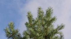 Pine tree branch move wind closeup background cloud fly sky Stock Footage