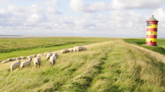 Sheeps in front of the lighthouse in Pilsum - Northsea Germany - stock footage