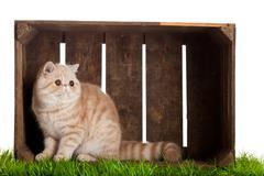 Exotic shorthair cat. beautiful cat in a  box. Stock Photos